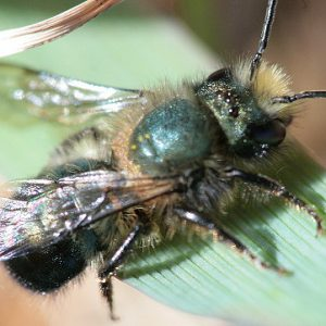 mason bees easy to raise and gentle enough to touch country store